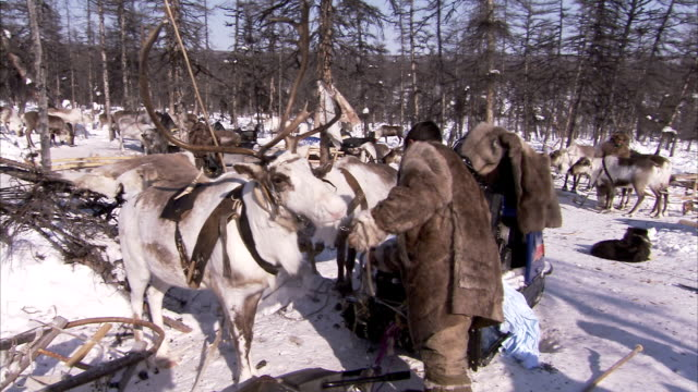 evenki men harness reindeer. available in hd - winter coat stock videos & royalty-free footage