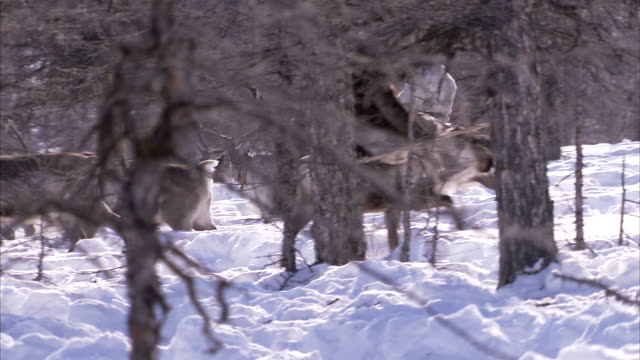 evenki people herd reindeer in a snowy forest. available in hd - herding stock videos and b-roll footage