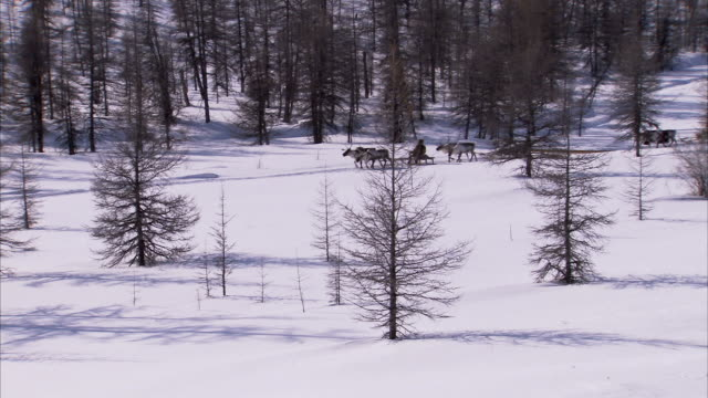 evenki people travel through a snowy forest. available in hd - nutztier oder haustier stock-videos und b-roll-filmmaterial