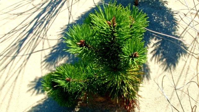 evergreen sapling on beach dunes near sand lake 1 oregon coast oregon 23 - oregon coast stock videos & royalty-free footage