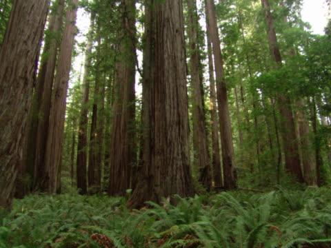 Evergreen tree trunks