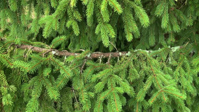 evergreen zweig - nadel pflanzenbestandteile stock-videos und b-roll-filmmaterial