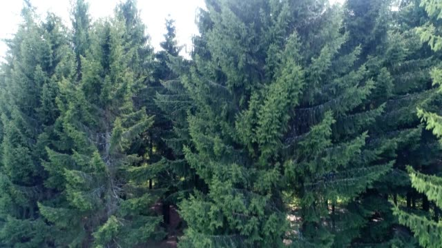 evergreen woodland in spring - pine woodland stock videos & royalty-free footage