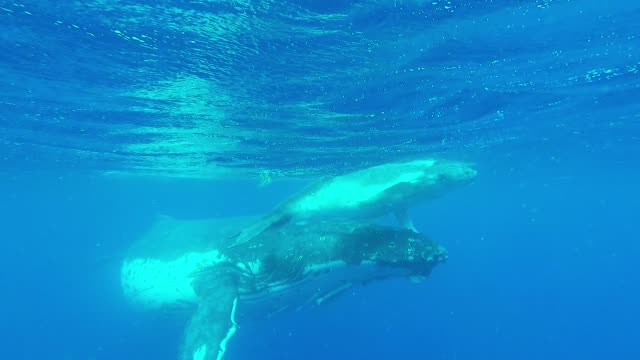 every year, humpback whales migrate from oceans around the world to congregate in tonga to breed and give birth to their calves. the conditions are... - wal oder delfingruppe stock-videos und b-roll-filmmaterial