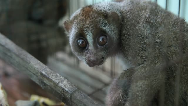 vídeos de stock e filmes b-roll de evidence of slow loris seen in a cage was confiscated from smugglers during a press conference in medan on 12 september 2018, indonesia. forestry... - jaula