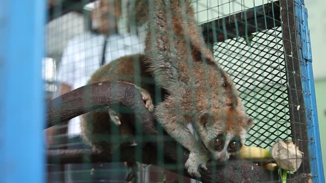 evidence of slow loris seen in a cage was confiscated from smugglers during a press conference in medan on 12 september 2018, indonesia. forestry... - four animals stock videos & royalty-free footage