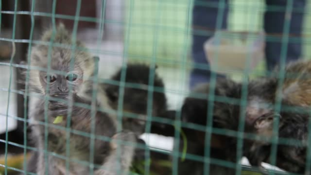 evidence of the child of the gray lutung seen in a cage confiscated from smugglers during a press conference in medan on 12 september 2018 indonesia... - four animals stock videos & royalty-free footage
