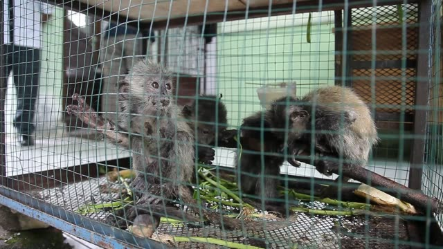 evidence of the child of the gray lutung seen in a cage confiscated from smugglers during a press conference in medan on 12 september 2018,... - four animals stock videos & royalty-free footage