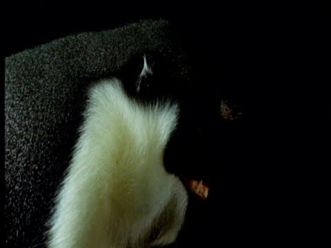 evil-looking diana monkey against black background grins and turns head to repeatedly look at camera - chroma key stock videos & royalty-free footage