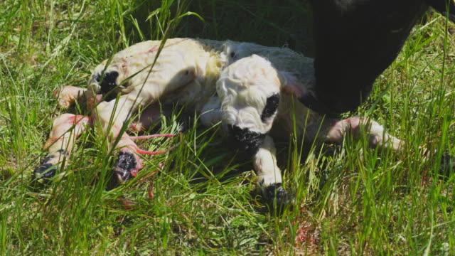 ewe cleaning her newborn lamb - lamb animal stock videos & royalty-free footage