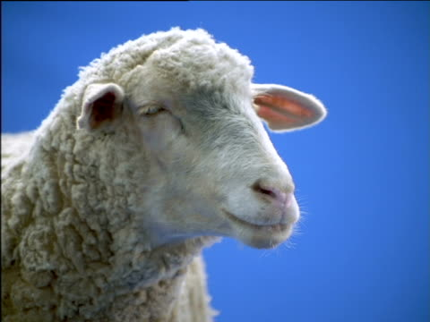 vidéos et rushes de ewe looks around and bleats - mouton