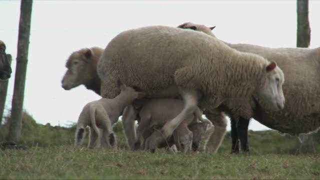 vidéos et rushes de ms pan ewes with lamb on field / virton, luxemburg, belgium - grand duché du luxembourg
