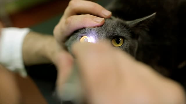 examination eyes of cat in veterinary station