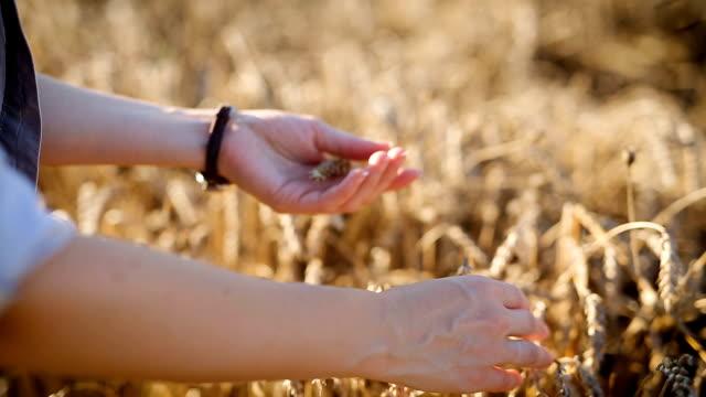 収穫を調べる - 農学者点の映像素材/bロール