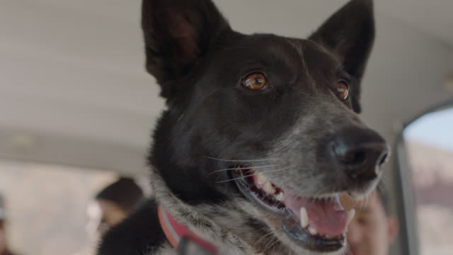 cu. excited dog looks around in car full of friends on road trip. - pet owner stock videos & royalty-free footage
