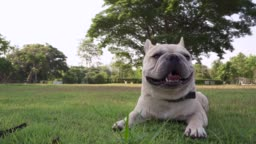 Exhausted french bulldog lying at park