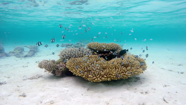 Exotic coral with shoal of Whitetail dascyllus on Maldives