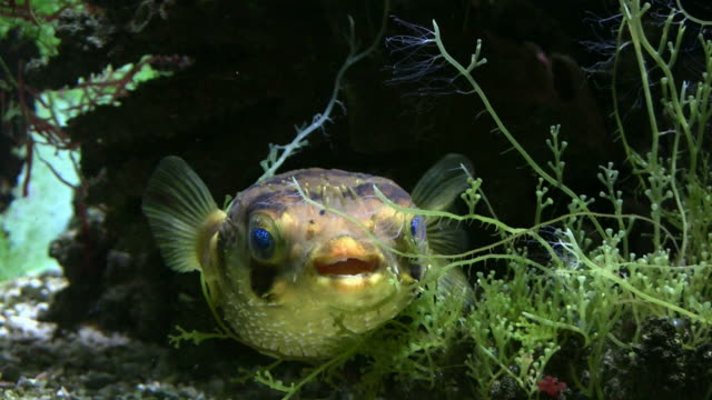 hd: exotic fish - puffer fish stock videos & royalty-free footage
