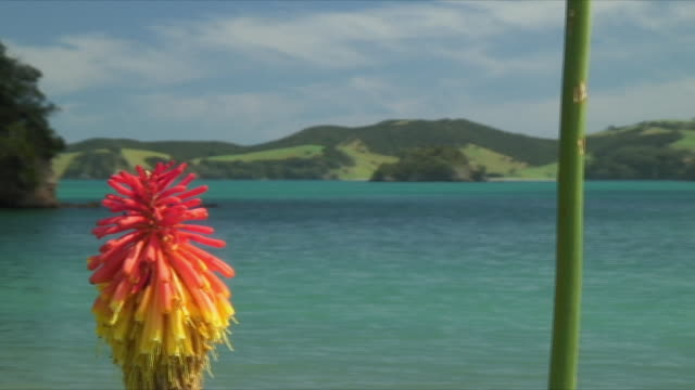vidéos et rushes de ms pan exotic flower in foreground of bay, bay of islands, new zealand - bay of islands nouvelle zélande