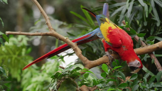 vídeos de stock, filmes e b-roll de exotic new world scarlet macaw struts on a branch surrounded by exotic green jungle plants and trees. - parte do corpo animal