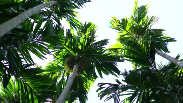 vídeos de stock, filmes e b-roll de palmeiras exóticas com cocos, contra fundo do céu azul - palmeira