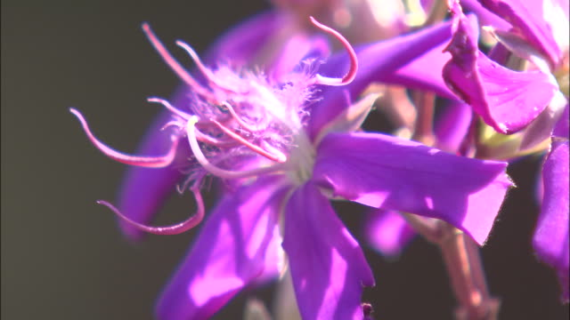 exotic purple petals open and reveal curly pistils and stamens. - おしべ点の映像素材/bロール
