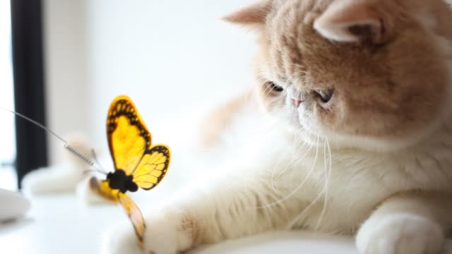 Exotic Shorthair cat playing butterfly toy