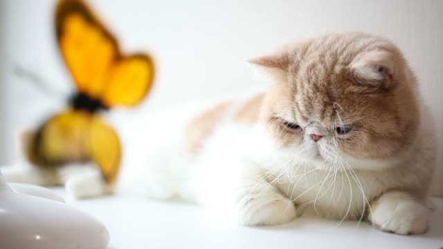 exotic shorthair cat playing butterfly toy - carpet decor stock videos & royalty-free footage