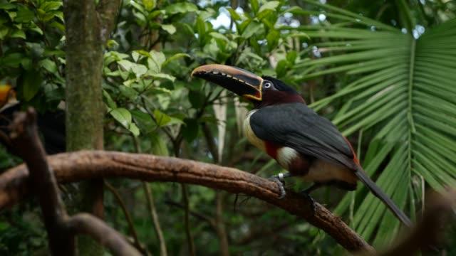 vídeos de stock, filmes e b-roll de pássaro tucano exótico sobre a natureza - tucano toco
