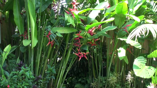 of expanded lobster claw plant growing in the garden of the sanda bukit villas and restaurant on the road from sanda to antosari in western bali. - heliconia stock videos & royalty-free footage