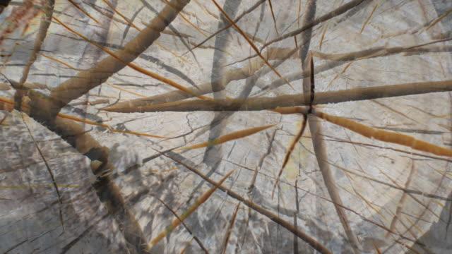 stockvideo's en b-roll-footage met log birch tree - expanding flow from the center. (loop) - naaldboom