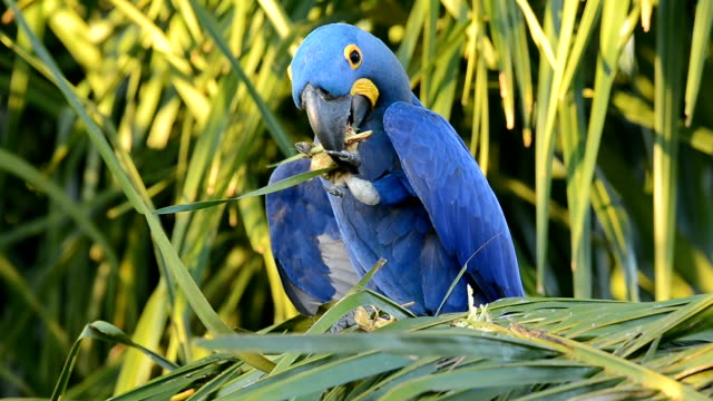 experienced tool-using hyacinth macaw - macaw stock videos & royalty-free footage