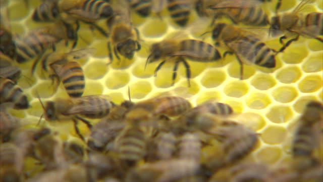 experts are warning of a british honey shortage because of the wet weather the problem has also left bees at risk of starvation as harriet hadfield... - creazione animale video stock e b–roll