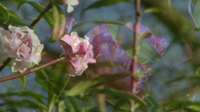 experts expecting to declare the winter of 2015/16 the warmest on record; t19011607 /tx bee on blossom on tree pink flower in bloom hertfordhire:... - ボーハムウッド点の映像素材/bロール