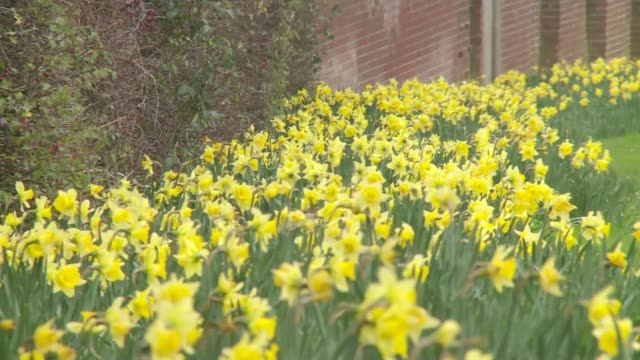experts expecting to declare the winter of 2015/16 the warmest on record; daffodil flowers blowing in wind bare tree branches with buds yellow blossom - blossom stock videos & royalty-free footage
