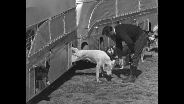 vidéos et rushes de explorer earl hammond releases his 16 huskies from their cages in his bus / he talks to and plays with one dog / hammond harnesses the dogs to a... - animaux au travail