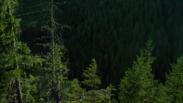 Exploring wilderness. Hills covered with spruce forest