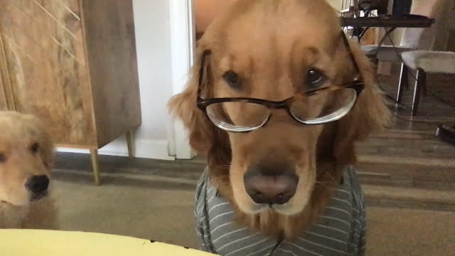 vidéos et rushes de expressive dog wearing clothes and eyeglasses sits quietly during video conference call - looking at camera