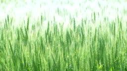 Extensive wheat field in Hokkaido