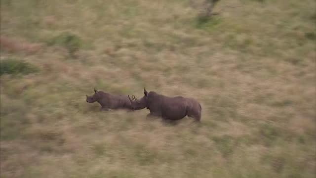 Exterior aerial shots adult rhino rhino calf running through bush Aerials of Rhino Calf Running Through Bush on April 11 2013 in Kruger National Park...