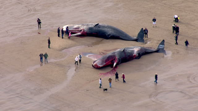 exterior aerial shots dead sperm whales washed up on skegness beach with people standing around them looking. on january 25, 2016 in skegness,... - gestrandet stock-videos und b-roll-filmmaterial
