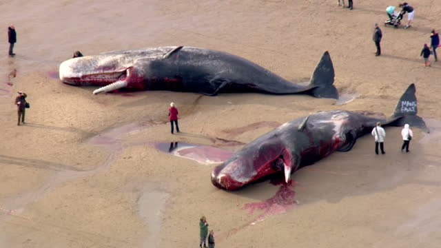 exterior aerial shots dead sperm whales washed up on skegness beach with people standing around them looking on january 25 2016 in skegness england - sperm whale stock videos & royalty-free footage
