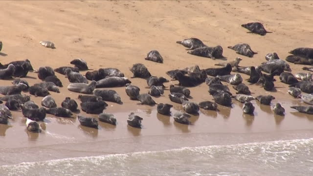 Exterior aerial shots of large numbers of seals on a sandbar off the Kent coastline on 8 June 2018 in Kent United Kingdom