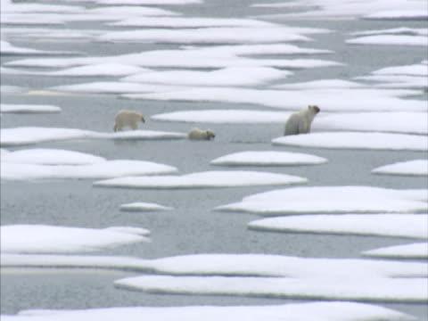vídeos y material grabado en eventos de stock de exterior aerial shots of polar bear and two cubs making away across melting ice floe canadian arctic stockshots on august 25 2007 in canadian arctic - ártico