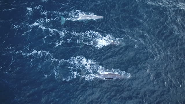 Exterior aerial shots of several whales swimming at sea off the Norwegian coastline on 10 April 2017 at sea
