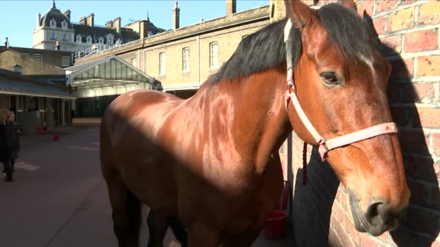 exterior and interior shots of horses being groomed and harnessed for a typical day 2 may 2018 in royal mews london united kingdom - hooved animal stock videos and b-roll footage
