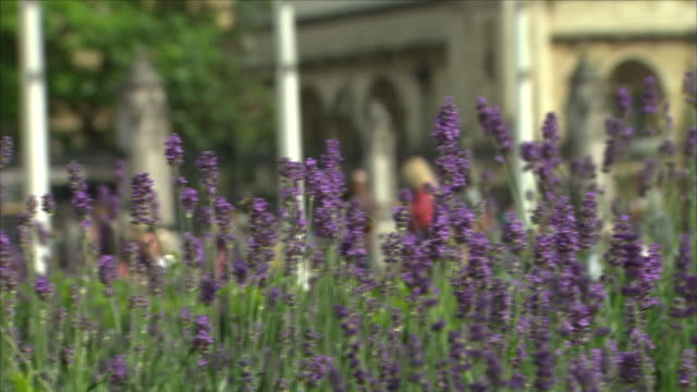 Exterior close up shots of lavender flowers including shots of flags in the suffragette colours of green white and violet in Westminster to mark 100...