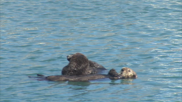 exterior long-range and close-up shots of two sea otters in a harbour in the gulf of alaska on a clear sunny day on 15th september 2015 in alaska,... - pacific ocean stock videos & royalty-free footage