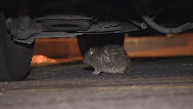stockvideo's en b-roll-footage met exterior night shots of a large rat walking around and stops under a car before running into the rubbish bins dirty filthy in birmingham england on... - afvalverwerking
