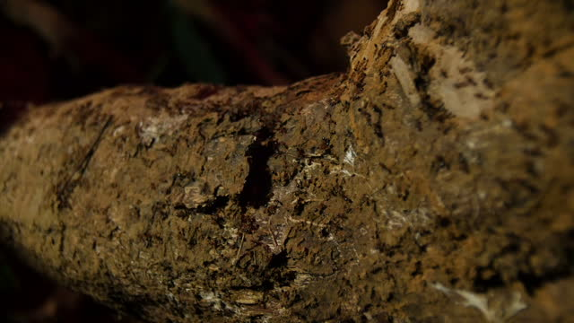 Exterior night shots of red ants swarming over logs in the forest on February 23 2015 in Hanoi Vietnam